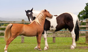 Horse Grooming Each Other